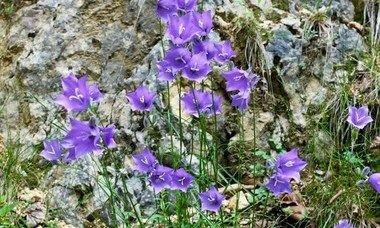 Campanula Carpatica Carpathian Bellflower Tussock Bellflower Carpathian Harebell Blue Flowers Purple Flowers Roc Campanula Flower Garden Plans Bellflower