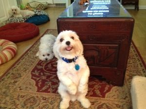 Adopt Kobe On Maltese Dogs Maltese Shih Tzu Dogs