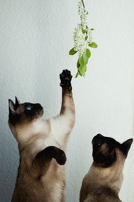 Best Siamese Cat Names Siamese Cats Cats Crazy Cats