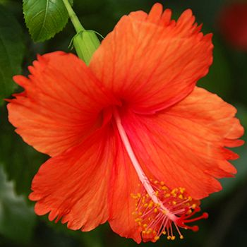 The Health Benefits Of Hibiscus Flower In 2020 Hibiscus Hibiscus Tea Benefits Hibiscus Flowers