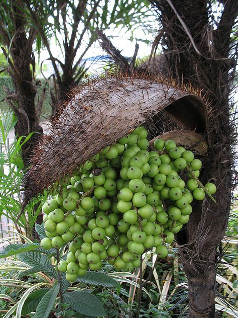 Bactris setosa (Tucum) by Andre Benedito, via Flickr