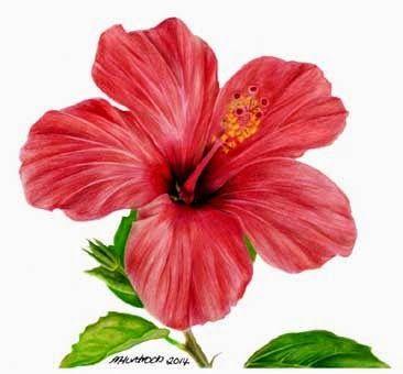 Bunga Raya Lukisan Google Search Hibiscus Drawing Flower Drawing Flower Painting