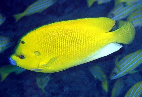 معلومات عن أسماك الزينة فنجان Fish Pet Fish Pets