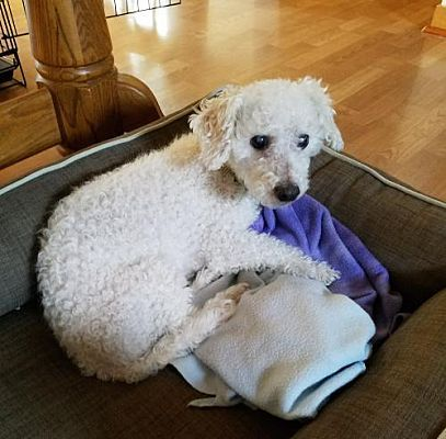 Livonia Mi Bichon Frise Meet Casem Zr A Dog For Adoption Bichon Frise Bichon Dog Adoption