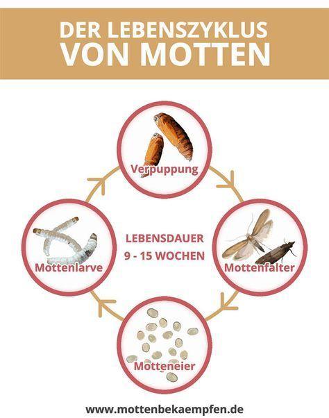 Der Lebenszyklus Von Motten Um Motten Zu Bekampfen Ist Es Unerlasslich Den L Lebenszyklen Leben Kleine Motten