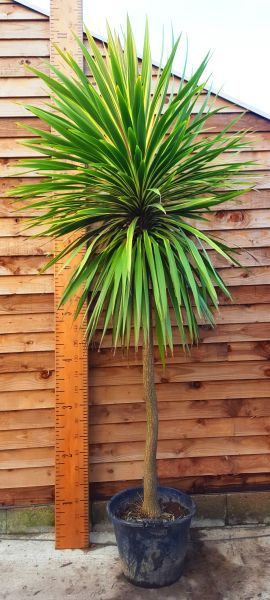 Cordyline Australis Variegata Or Variegated Cabbage Palm Uk Palm Trees Garden Palm Tree Plant Tropical Plants Uk