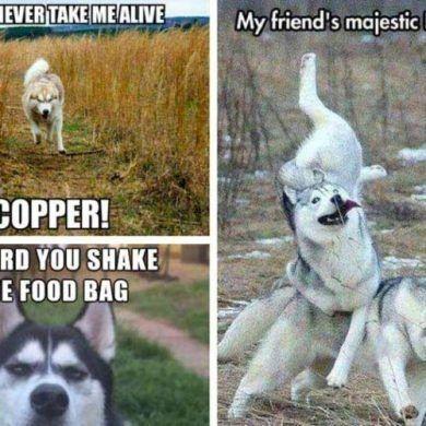 14 Best Funny Husky Meme Template 2019 In 2020 Funny Husky Meme Dog Quotes Funny Husky Memes