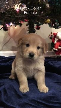 Golden Retriever Puppy For Sale In Paragould Ar Adn 58130 On