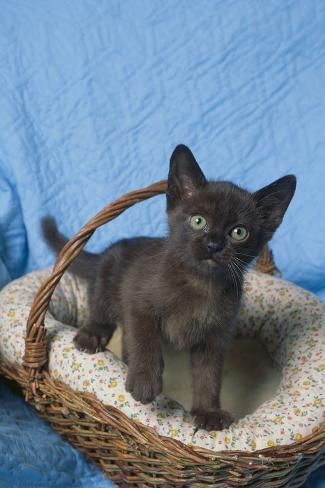 Photographic Print Burmese Kitten In A Basket By Dlillc 24x16in