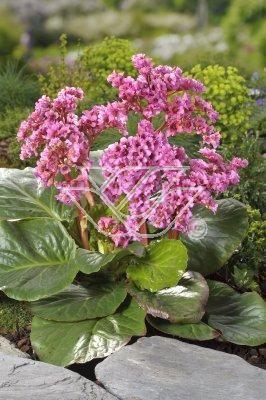Bergenia Sercolistna Plants Garden Vegetables