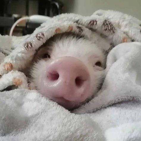 Cute Baby Pigs, Baby Animals Super Cute, Cute Piglets, Cute Little Animals, Cute Funny Animals, Baby Piglets, Baby Farm Animals, Teacup Pigs, Cute Animal Photos