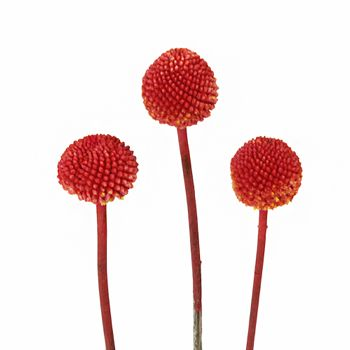 Craspedia Billy Balls Red Flower Fiftyflowers Com Red Flowers Mini Calla Lilies Flowers