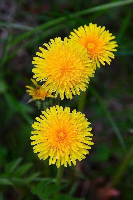 Pin By Mug On 花と花束 Dandelion Flower Yellow Flowers Taraxacum Officinale