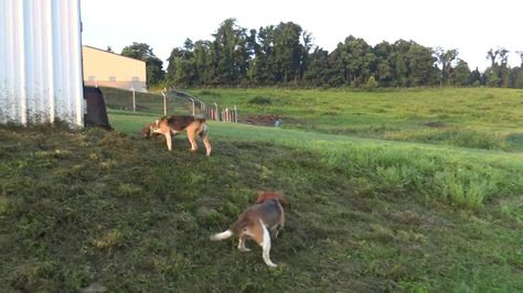 Skyview S Beagles Pure Pleasure Runnng Rabbit Sight Chase Turns