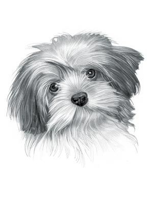 Lhasa Apso Dog Great Drawing Lhasa Apso Dog Drawing Spaniel Art
