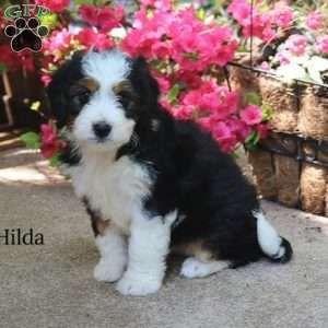 Mini Bernedoodle Puppies For Sale Mini Bernedoodle Bernedoodle Puppy Greenfield Puppies