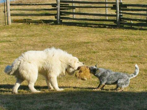 Tug O War With Images Great Pyrenees Cattle Dog Top Dog Breeds