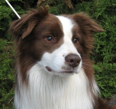 Chocolate Brown Fatransky Sen Brown Border Collie Red Border