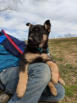 Litter Of 9 German Shepherd Dog Mix Puppies For Sale In Fleetwood