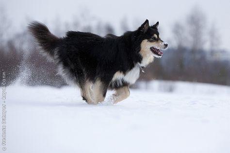 finse lappenhond | finnish lapphunds | pinterest | lapinkoira and chien