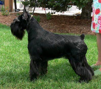 Elkhart Black Standard Schnauzers Standard Schnauzer Schnauzer Schnauzer Dogs