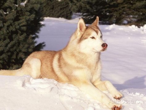cute Puppys and Dogs ^-^/Siberian Husky Resting in Snow Pics, Images, Screencaps, and Scans
