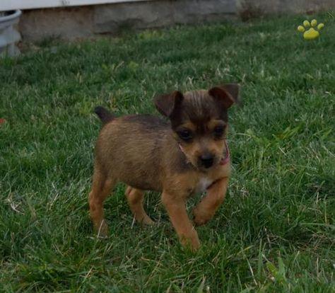Petunia Yorkshire Terrier Mix Puppy For Sale In Fredricksburg Oh Lancaster Puppies Yorkshire Terrier Puppies Lancaster Puppies