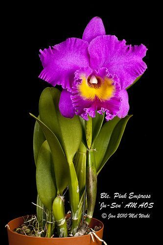 Blc Pink Empress Ju Sen Am Aos Orchid Flower Orchid Photo Orchids