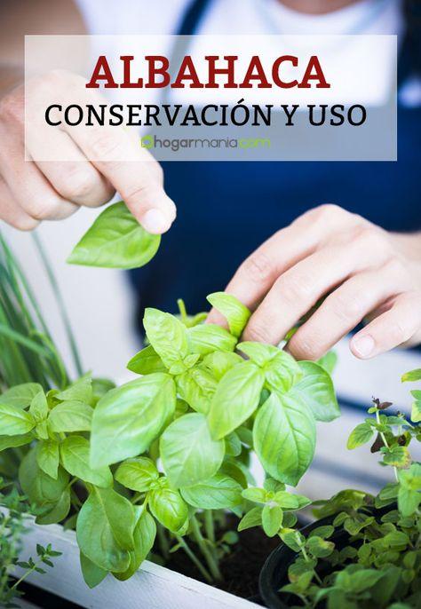 Albahaca Conservacion Y Uso En La Cocina Albahaca Albahaca