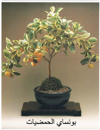 الحمضيات البرتقال والليمون Citrus Lemon Orange Bonsai