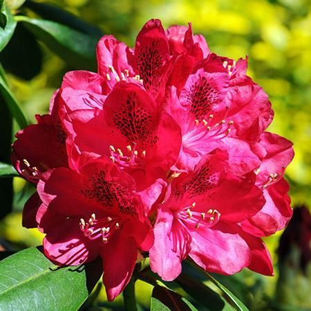 Red Rhododendron Shrub With Images Amazing Flowers Photos