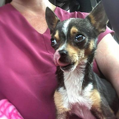 College Station Tx Chihuahua Meet Tweet 3 5 Pounds A Dog For Adoption Chihuahua Puppy Photos