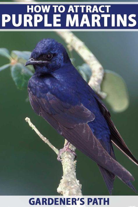 Purple Martin Conservation Polo