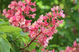 Aesculus X Carnea Red Horsechestnut Zone 4 H 30 40 S 30 40 Red Horse Chestnut Tree Horse Chestnut Trees Flowering Cherry Tree
