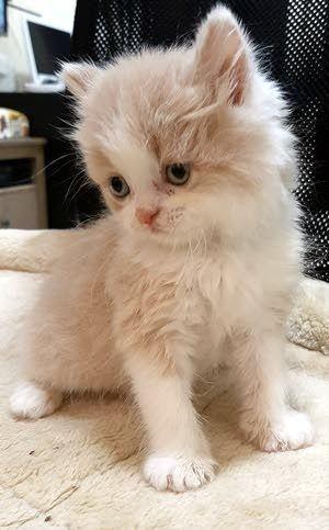 Cats Uae Beautiful Pets In Ajman Aaiwa Pets Cat S Animals