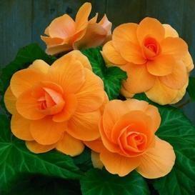 Begonia Tubers For Sale Buy Flower Bulbs In Bulk Save Bulb Flowers Flower Seeds Begonia