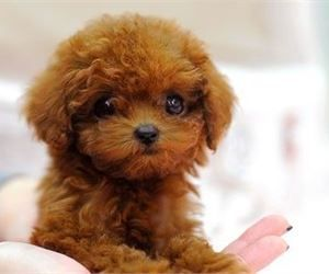 Jamaican Banana Bread Poodle Puppies For Sale Toy Poodle