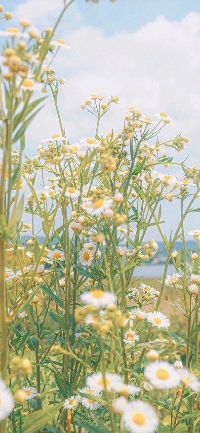 Marguerites Chrysanthemes Champs De Fleurs Fleurs Et Plantes Fonds D Ecran Pour Iphone11 Field Wallpaper Scenery Wallpaper Plant Wallpaper