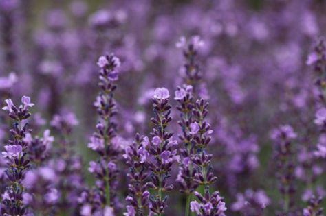 Lavender Lemonade with Honey | Small Footprint Family