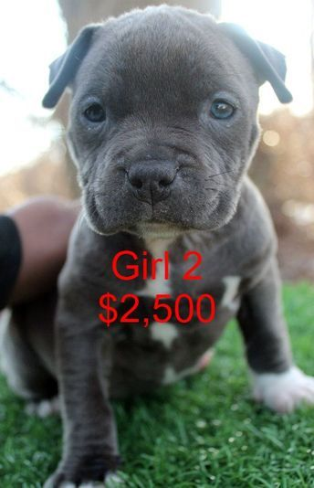 Picture Blue Nose Pitbull Pitbull Puppies For Sale Blue Pitbull