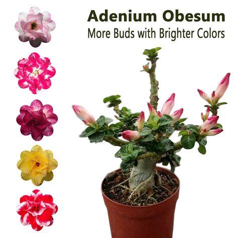 Adenium Obesum Desert Rose Plant Bonsai Double-Flowered#55 Tong Yod New