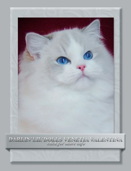 Darlin Lil Dolls Ragdoll Kitten Breeder Ottawa Ontario In 2020