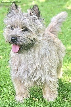 Pin By Sylvia 64 On Schone Tiere 64 In 2020 Cairn Terrier Puppies Dog Breeds Terrier Puppies
