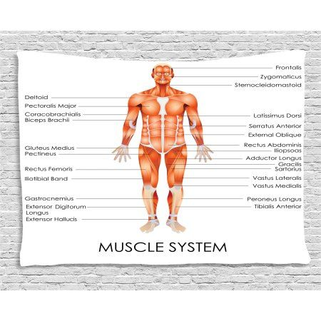 Human Anatomy Tapestry Muscle System Diagram Of Man Body Features Biological Elements Medical Heath Image Wall H Muscle Anatomy Muscle System Peroneus Longus