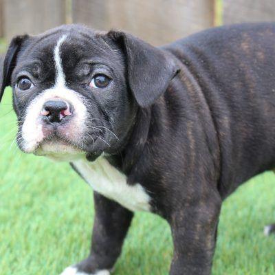 Farnham In 2020 Puppies For Sale Puppies Puppy Adoption