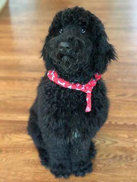 Bear Black Goldendoodle Puppy Black Labradoodle Puppy