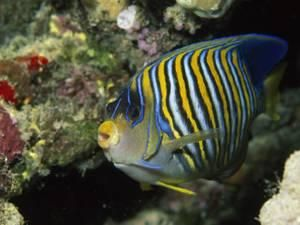 A Side View Of A Regal Angelfish Pygoplites Diacanthus By Tim Laman Angel Fish Wall Art For Sale Fish Pet