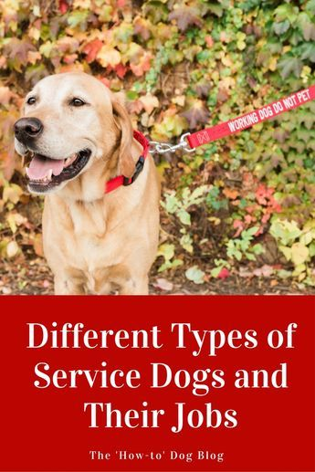 Different Types Of Service Dogs And Their Jobs Service Dogs Dog