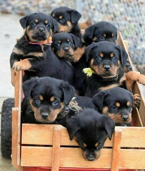 Top quality Rottweiler puppies(100% Purebred)