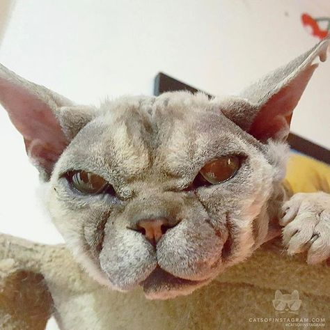 From Thorthedevonrex Thor Is A Very Unique Looking Devon Rex He Was Adopted From Animal Aid In Coldstream Victoria Australia Animals Beautiful Devon Rex Funny Animal Memes